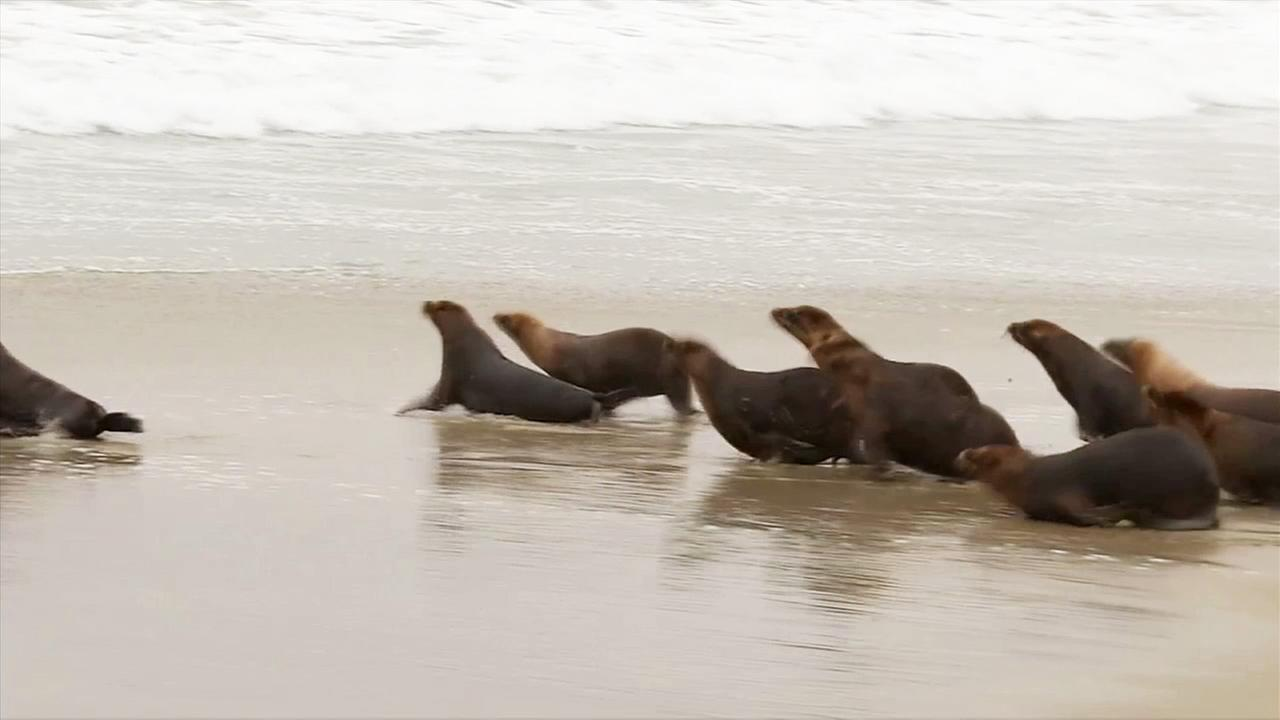 Fourteen of 17 sea lions injured in a chlorine attack at the Pacific Marine Mammal Center were freed on Tuesday, June 2, 2015.