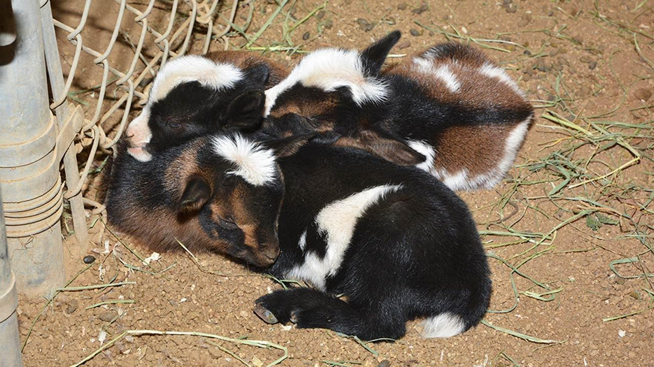 The Los Angeles Zoo announces the addition of four Nigerian Dwarf goats.Los Angeles Zoo