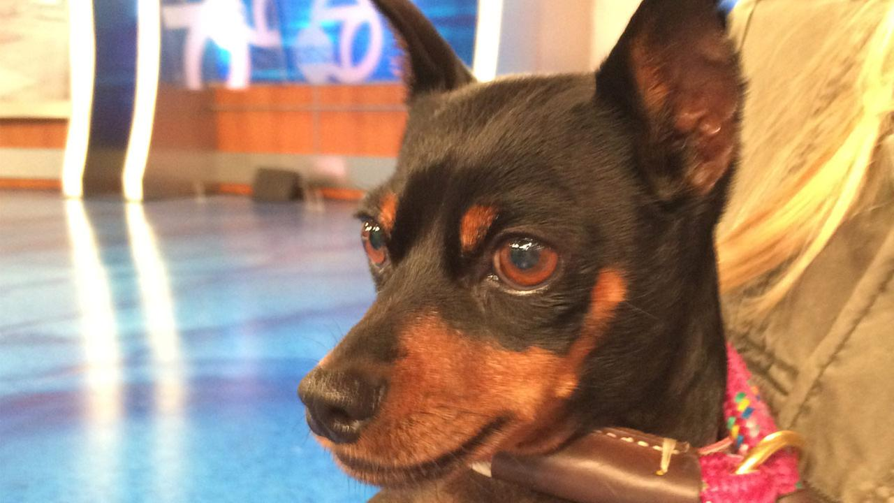 Our Pet of the Week on Thursday, June 11, is a 5-year-old female Miniature Pinscher mix named Peppermint.