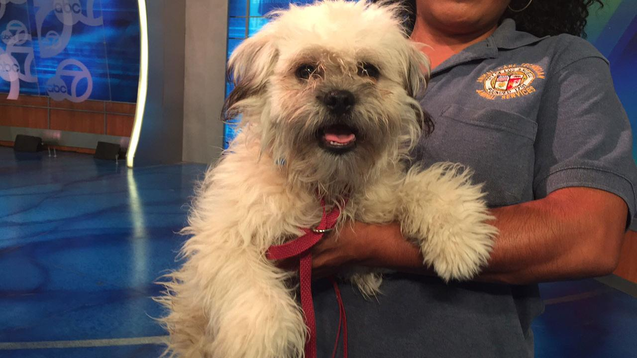 Our Pet of the Week on Tuesday, June 16, is a 1-year-old Shih Tzu mix named Jimmy. Please give him a good home!