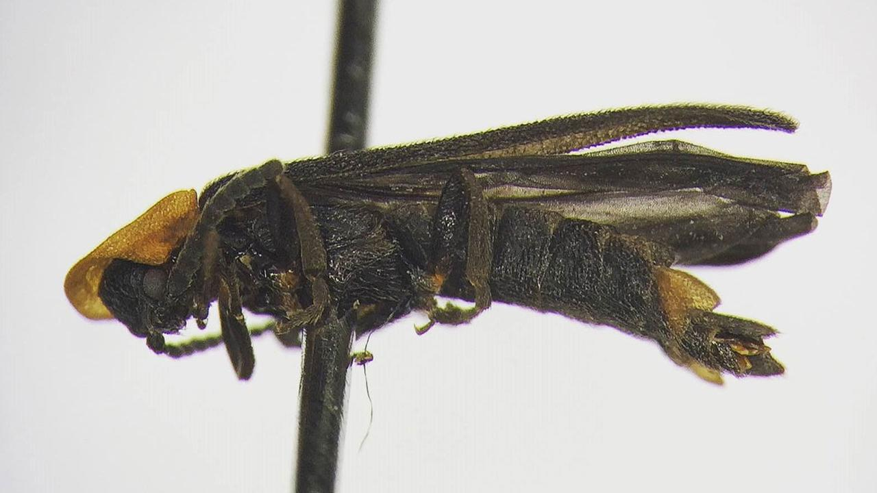 A new firefly species was discovered by a student of UC Riverside. The new species has not yet been formally named.