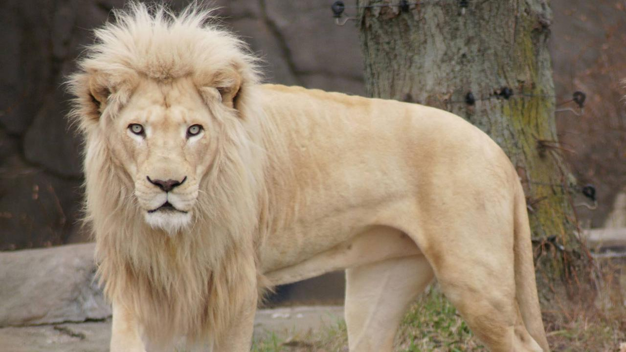 Toledo Zoo officials announced that 14-year-old Legend died after being immobilized for an hour to allow veterinarians to treat problems with one of its paws.