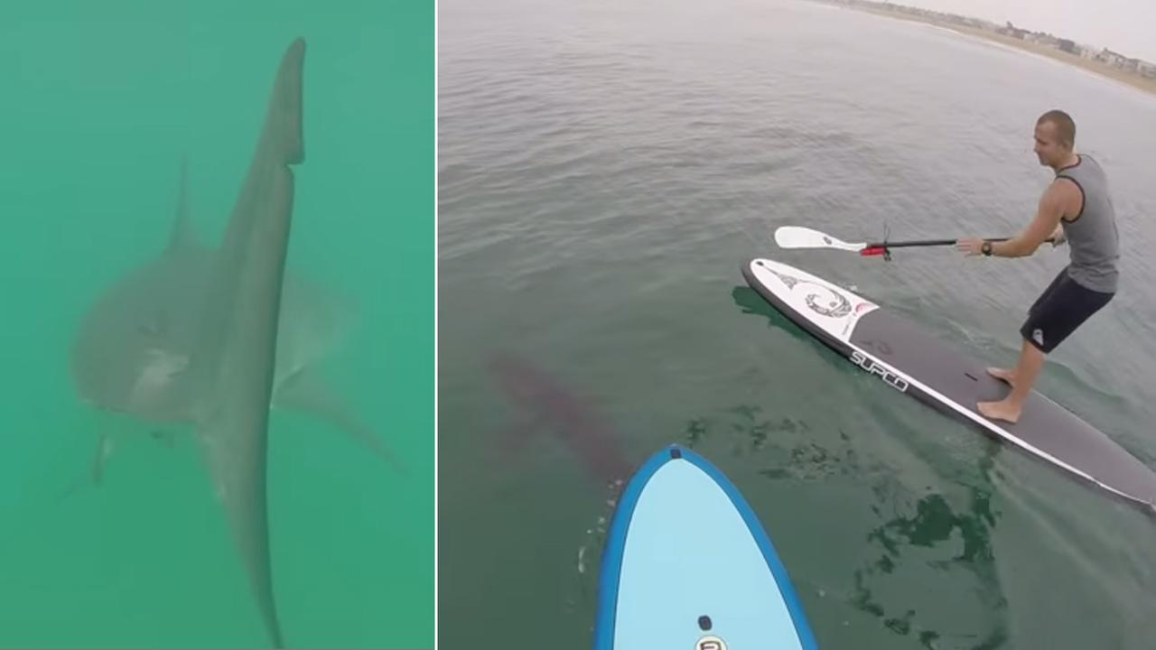 Great white sharks swam among paddle boarders at Sunset Beach and a GoPro camera was there to catch it.