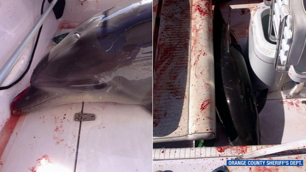 A dolphin jumped into a boat with a Laguna Niguel family on board, crashed into a woman and broke both her ankles.