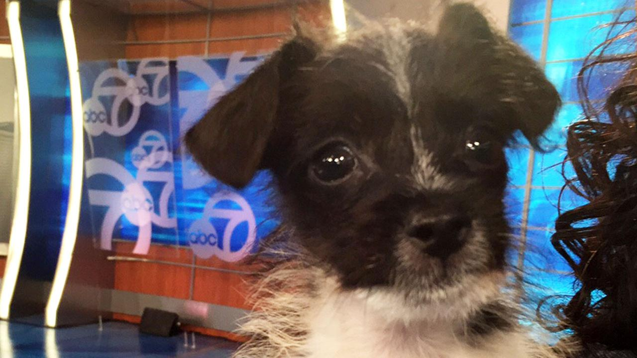 Our Pet of the Week on Tuesday, July 7, is a 2-month-old terrier mix named Hercules.