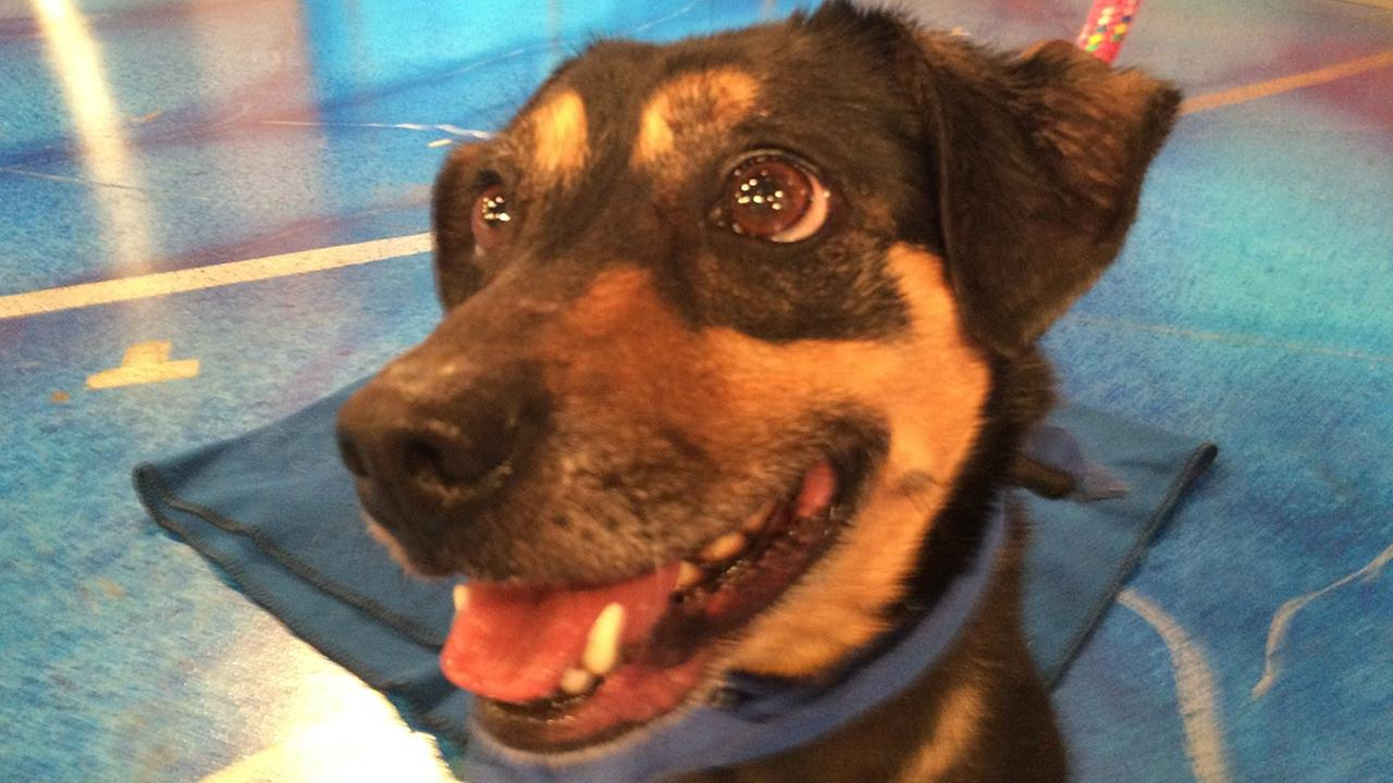 Our Pet of the Week on Thursday, July 9, is a 4-year-old Beagle mix named Sadie. Lets find Sadie a good home!