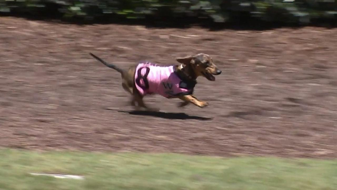 The Los Alamitos Race Course was taken over by racing dachshunds on Monday.