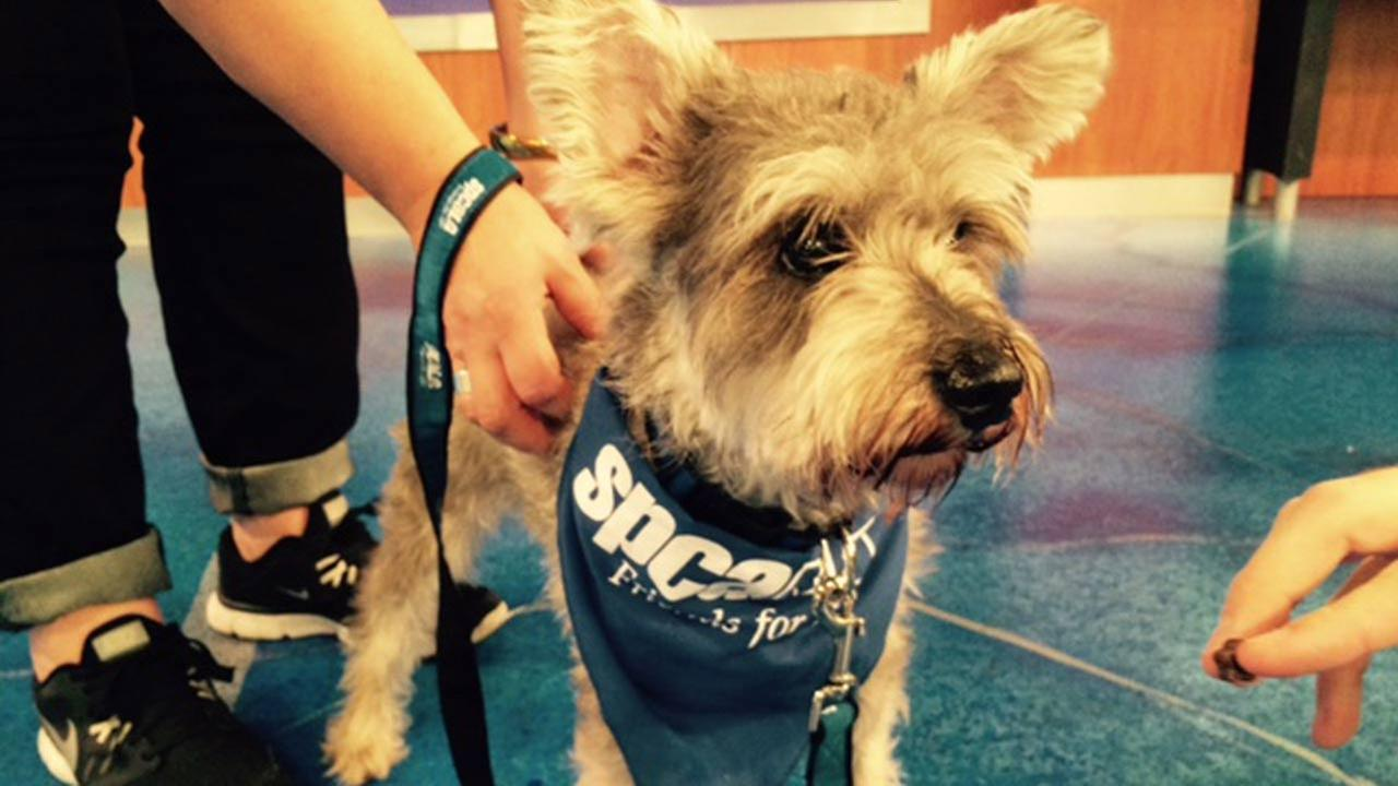 Our Pet of the Week on Thursday, July 30, is a 5-year-old Schnauzer mix named Milo. Please give him a good home!