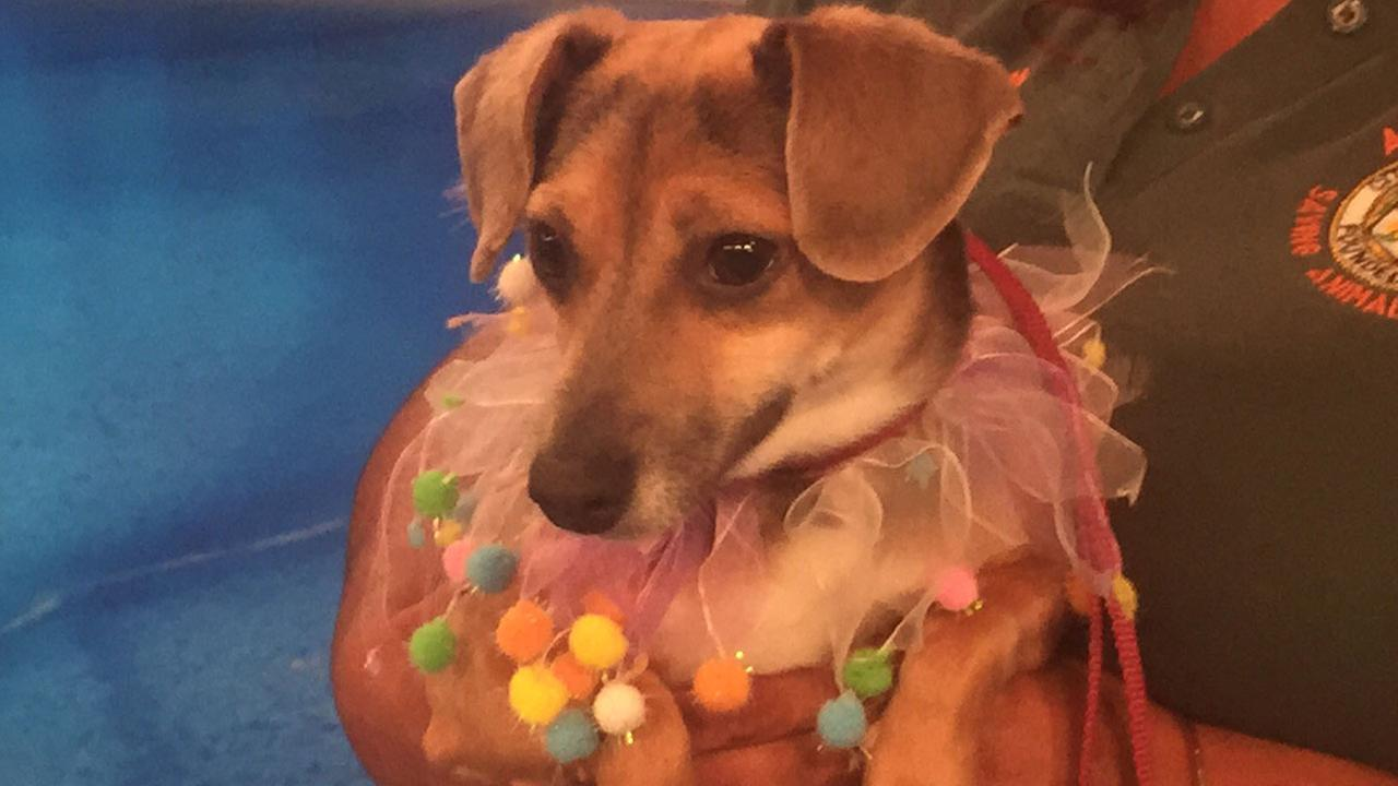 Our Pet of the Week on Tuesday, Aug. 4, is a 5-year-old Dachshund-Chihuahua mix named Sadie.
