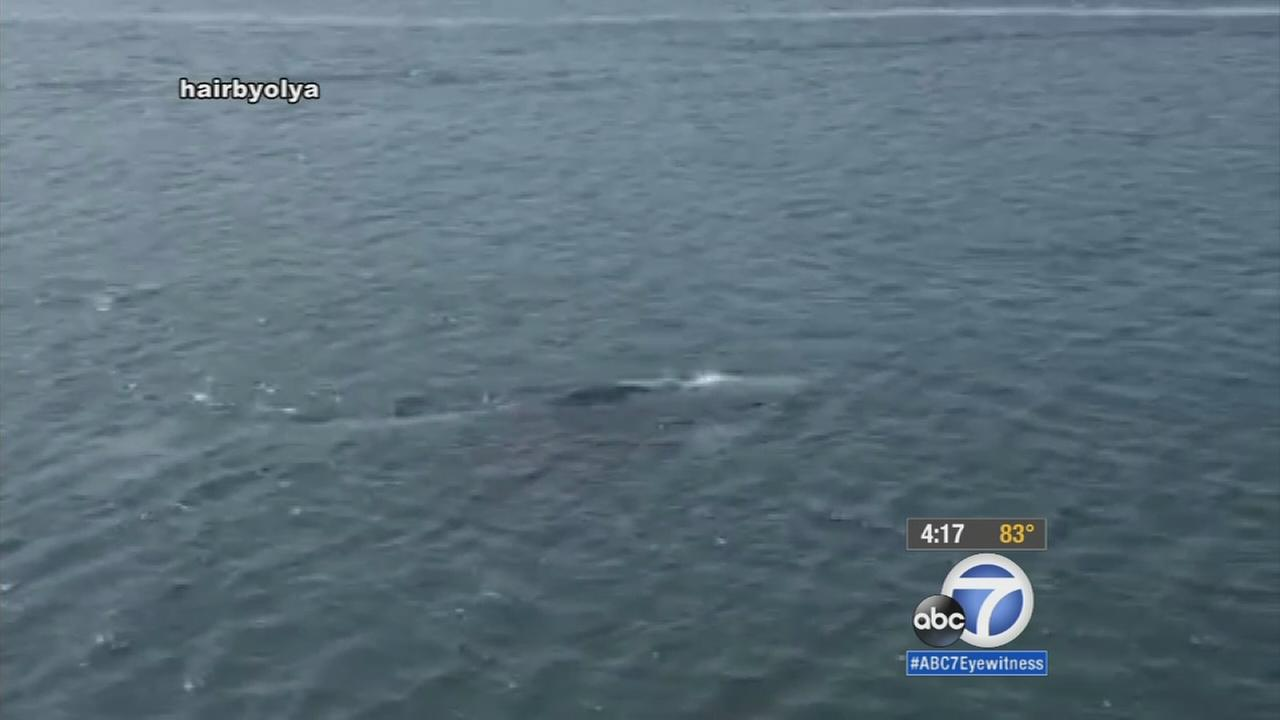 Wildlife officials are concerned about a baby gray whale that has been spotted for several days alone off the coast of Marina del Rey.