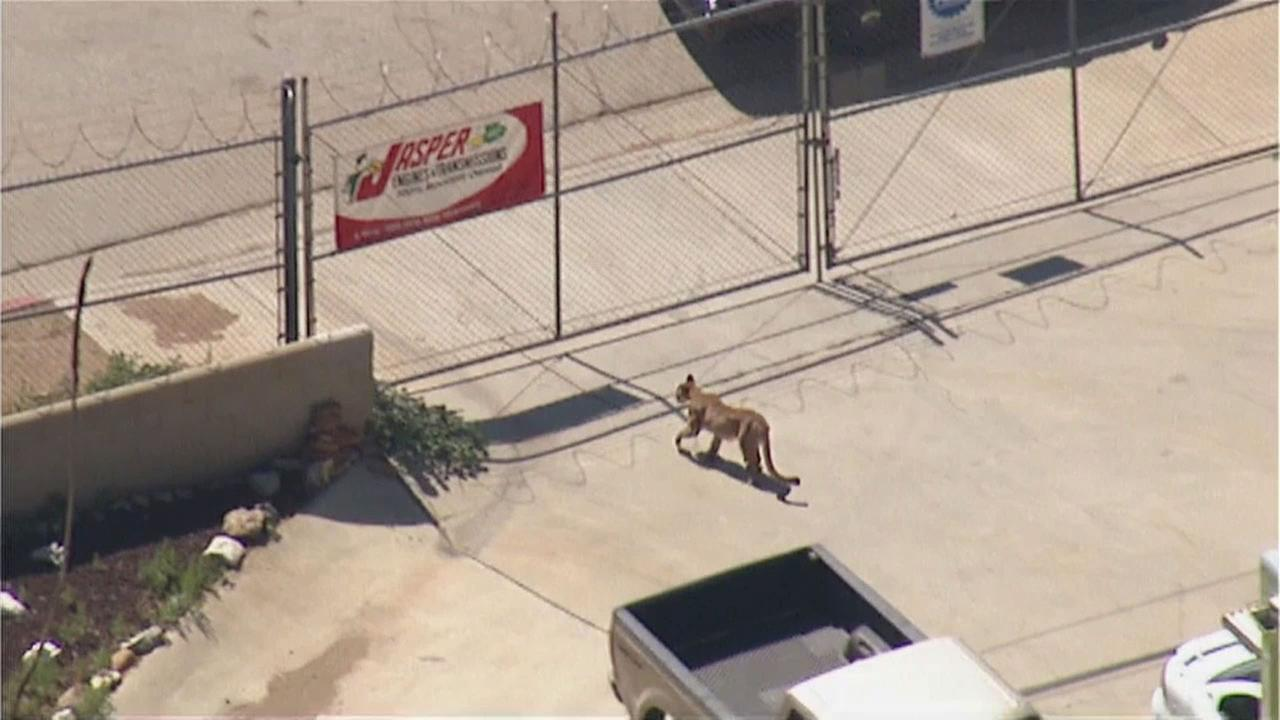 A mountain lion was spotted in Palmdale behind an auto shop on Friday, Aug. 28, 2015.