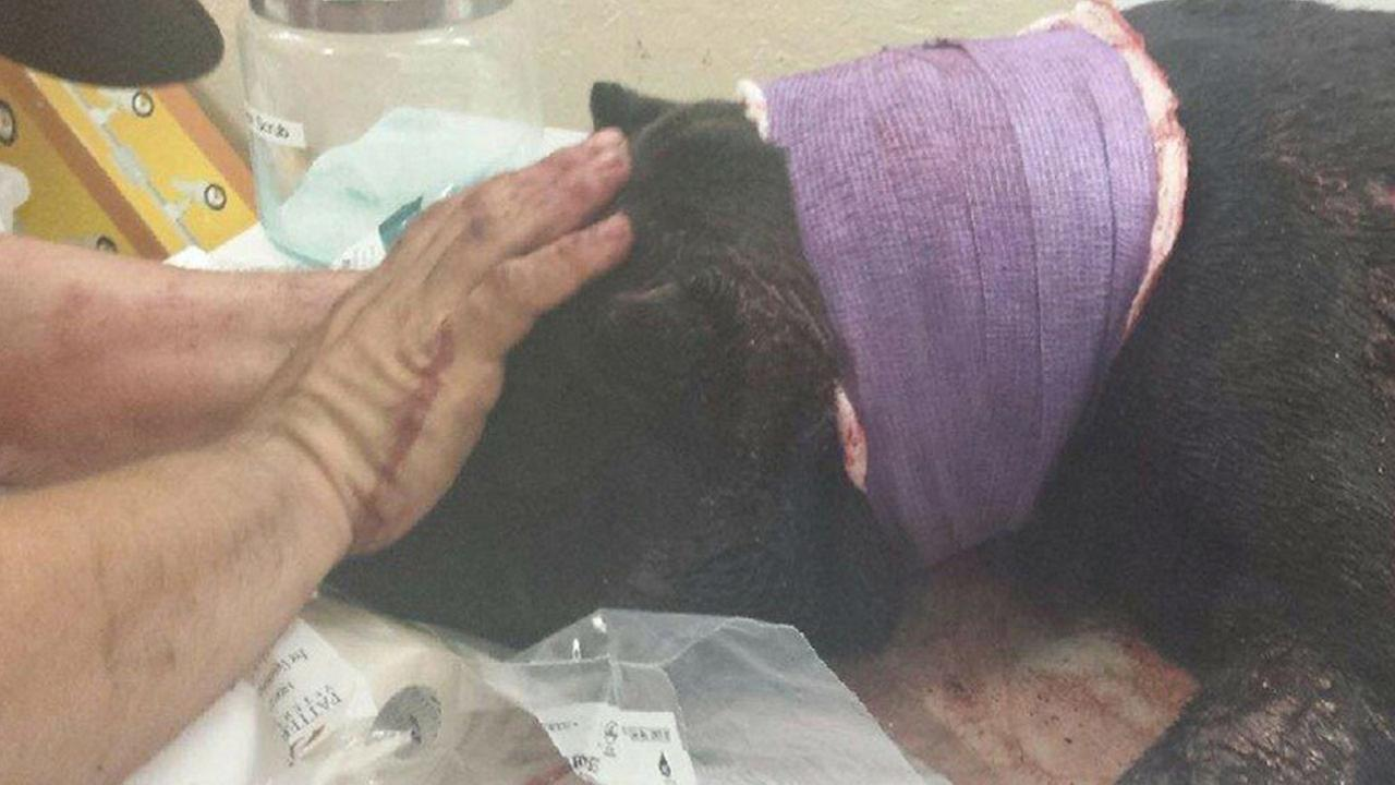 A dog named Lucky is being treated by veterinary staff after being found bleeding profusely from stab wounds on a Santa Paula street on Friday, Aug. 28, 2015.