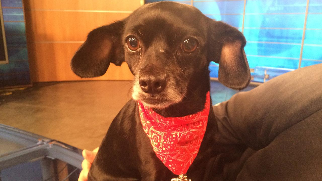 Our Pet of the Week on Thursday, Sept. 24, is a 6-year-old female Chihuahua mix named Felicity. Please give her a good home!