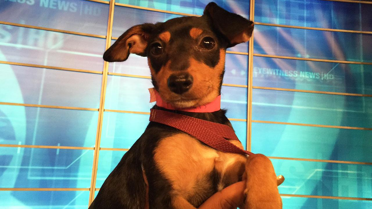 Our Pet of the Week on Tuesday, Sept. 29, is a 3-month-old female Dachshund-Miniature Pinscher mix named Sophia. Please give her a good home!