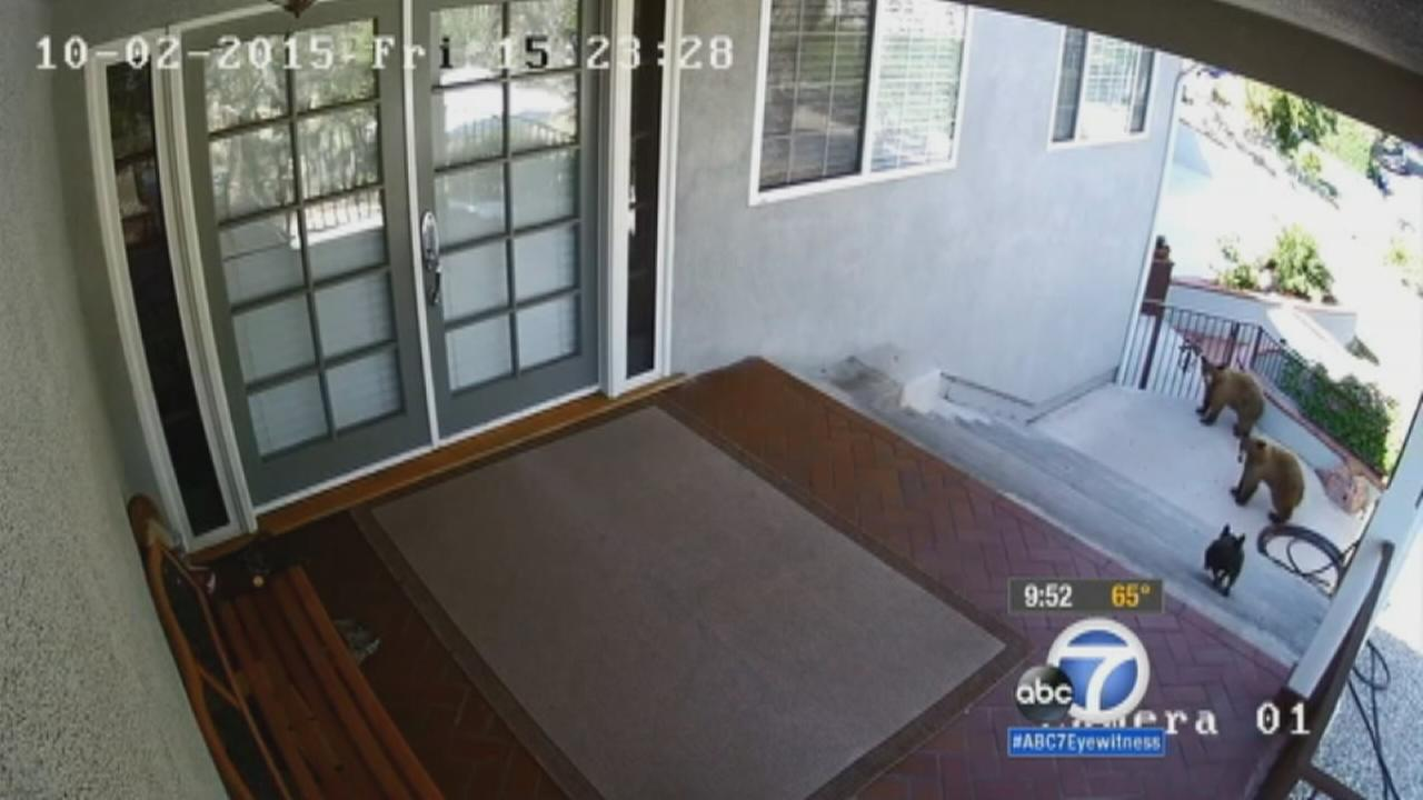 A 20-pound French bulldog goes after two bears trying to break into its owners home in Monrovia.