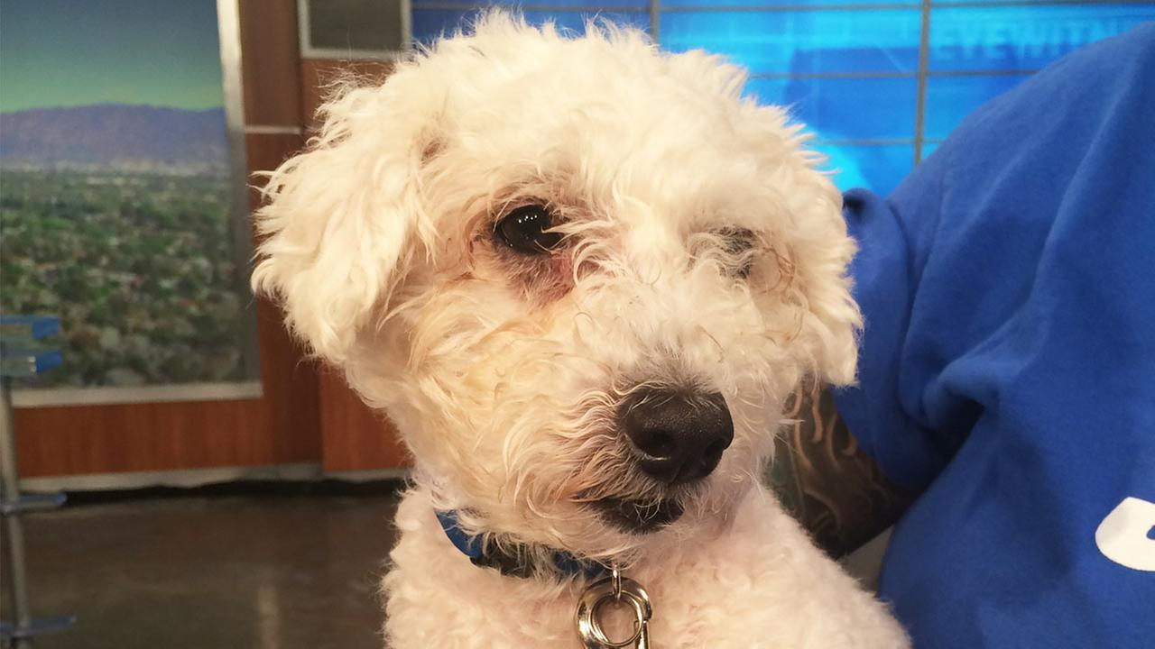 Our Pet of the Week on Thursday, Oct. 8, is a 5-year-old male poodle mix named Marky Mark.