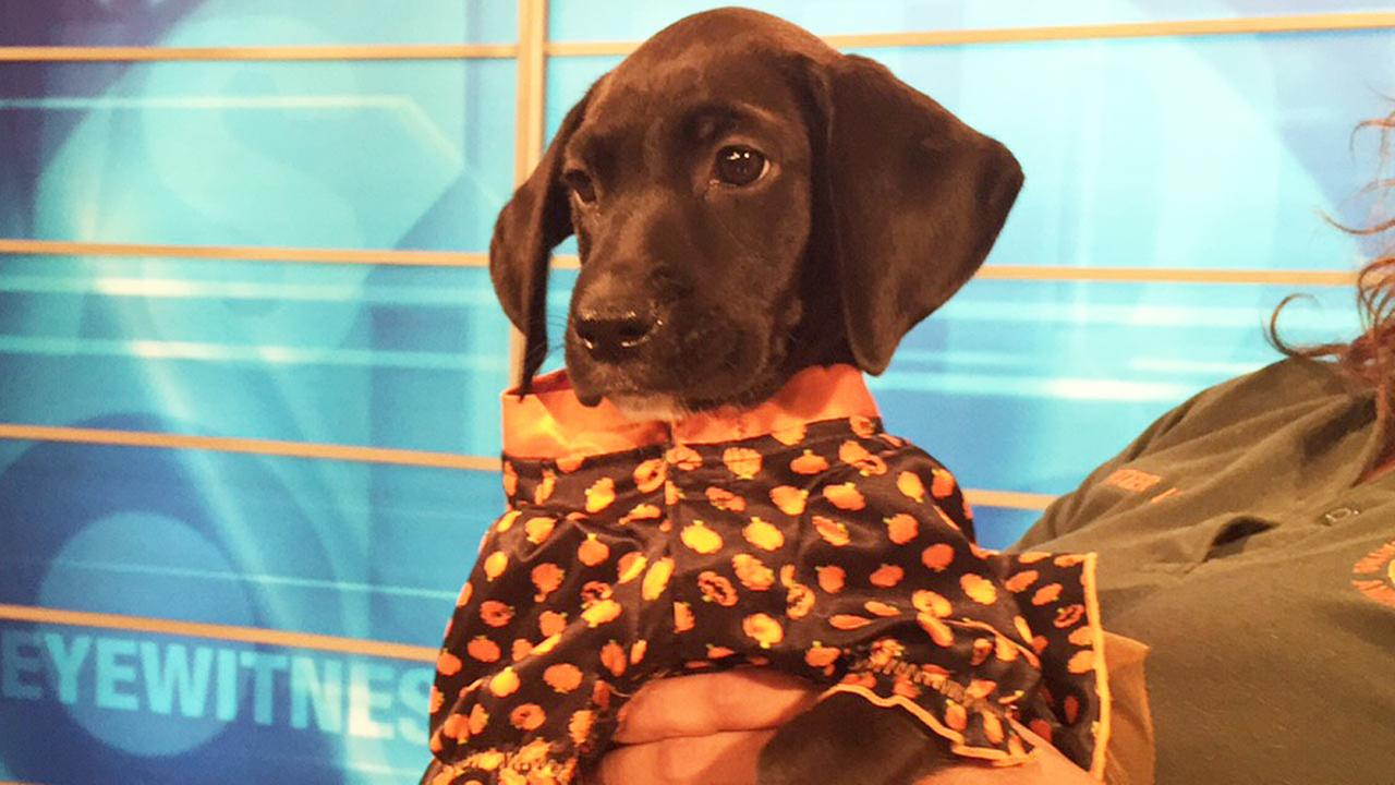 Our Pet of the Week on Tuesday, Oct. 13, is a 1-month-old female Labrador retriever mix named Lucy.