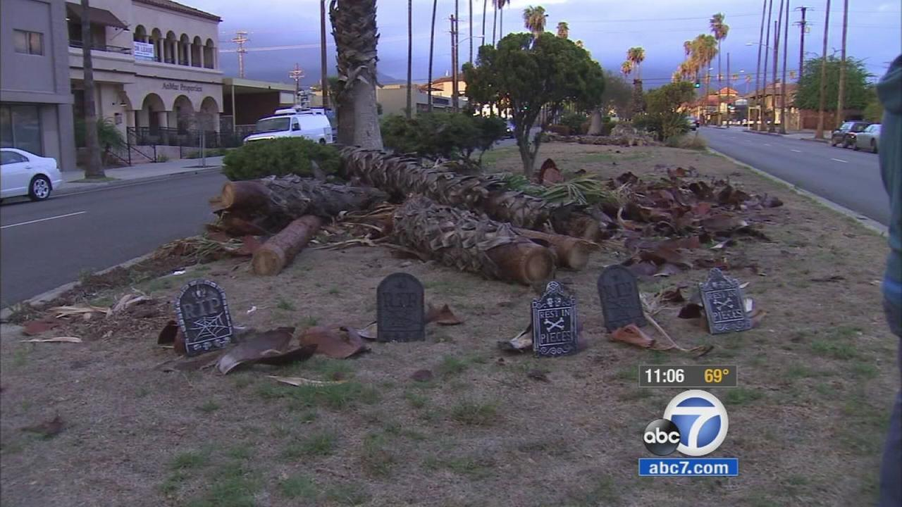 San Fernando residents set up a grave yard for palm trees accidentally chopped down by mistake on Sunday, Oct. 18, 2015.