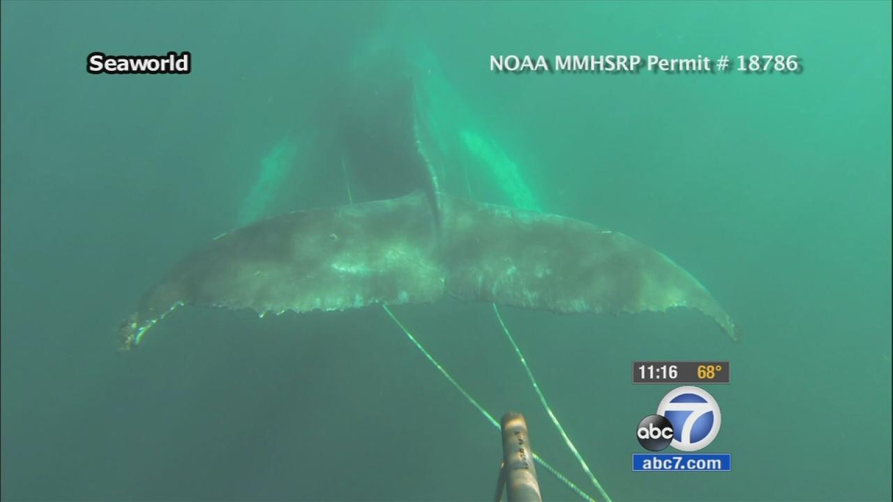 Crews free entangled humpback whale first spotted off Newport Beach