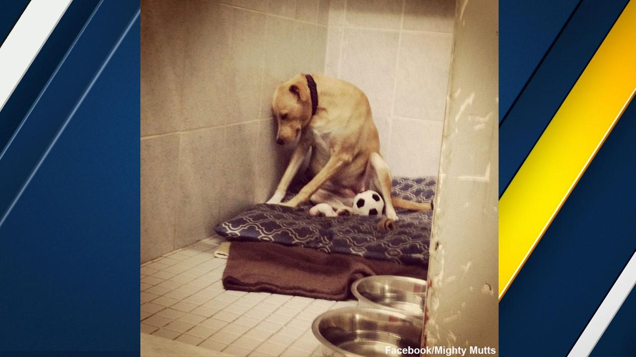 Lana, a Labrador mix nicknamed the saddest dog in the world, is seen in a photo on Mighty Mutts Facebook page.