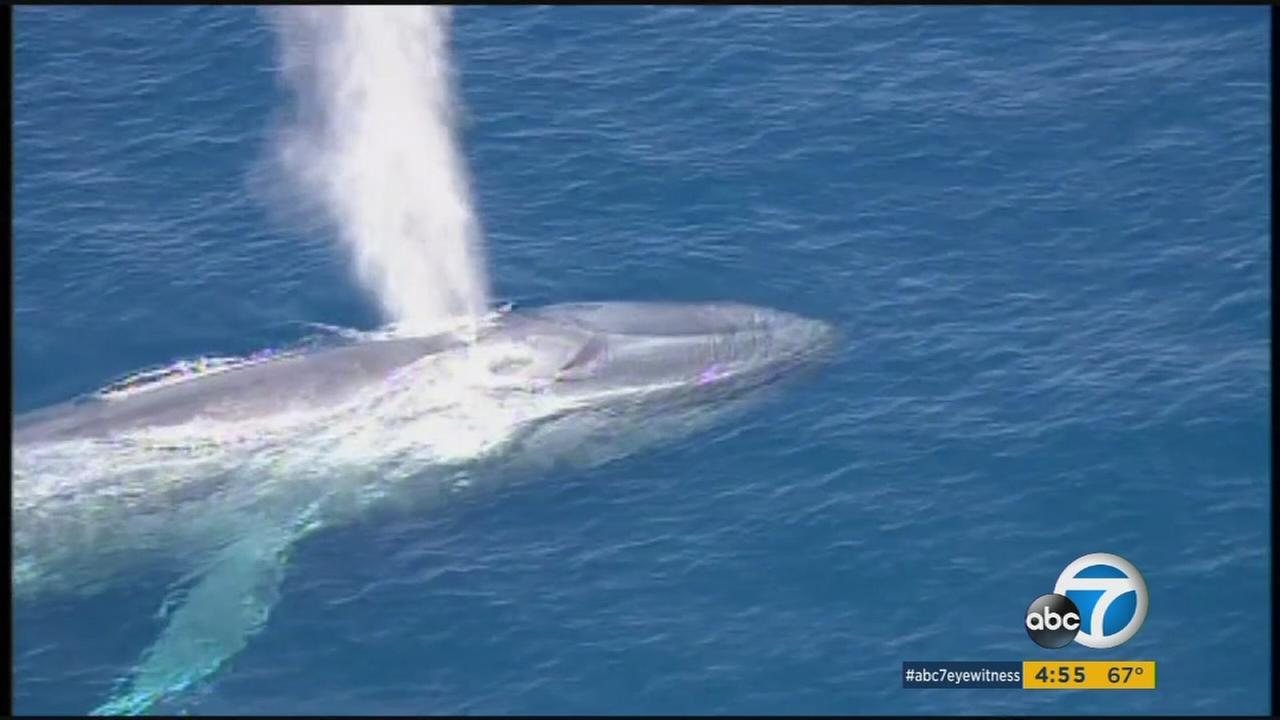 A photo shows a whale trapped in fishing line off the coast of Southern California.