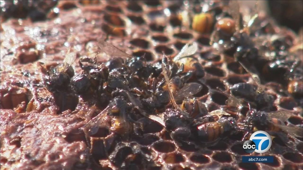 Urban beekeepers raise awareness about pesticide that may be killing bees.