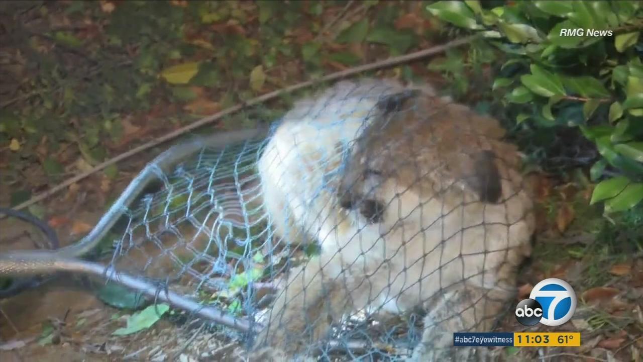 Animal services members help capture a mountain lion loose in a San Dimas neighborhood on Sunday, Nov. 8, 2015.