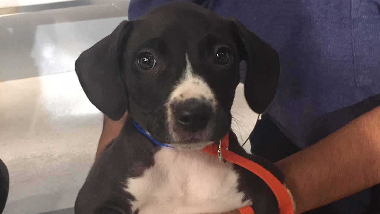 Our Pet of the Week on Tuesday, Nov. 10, is a 2-month-old male Staffordshire mix named Charlie. Please give him a good home!
