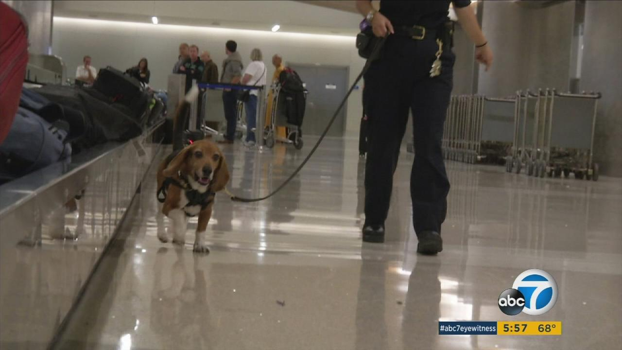 A beagle from the Beagle Brigade K9 team walks down LAX.