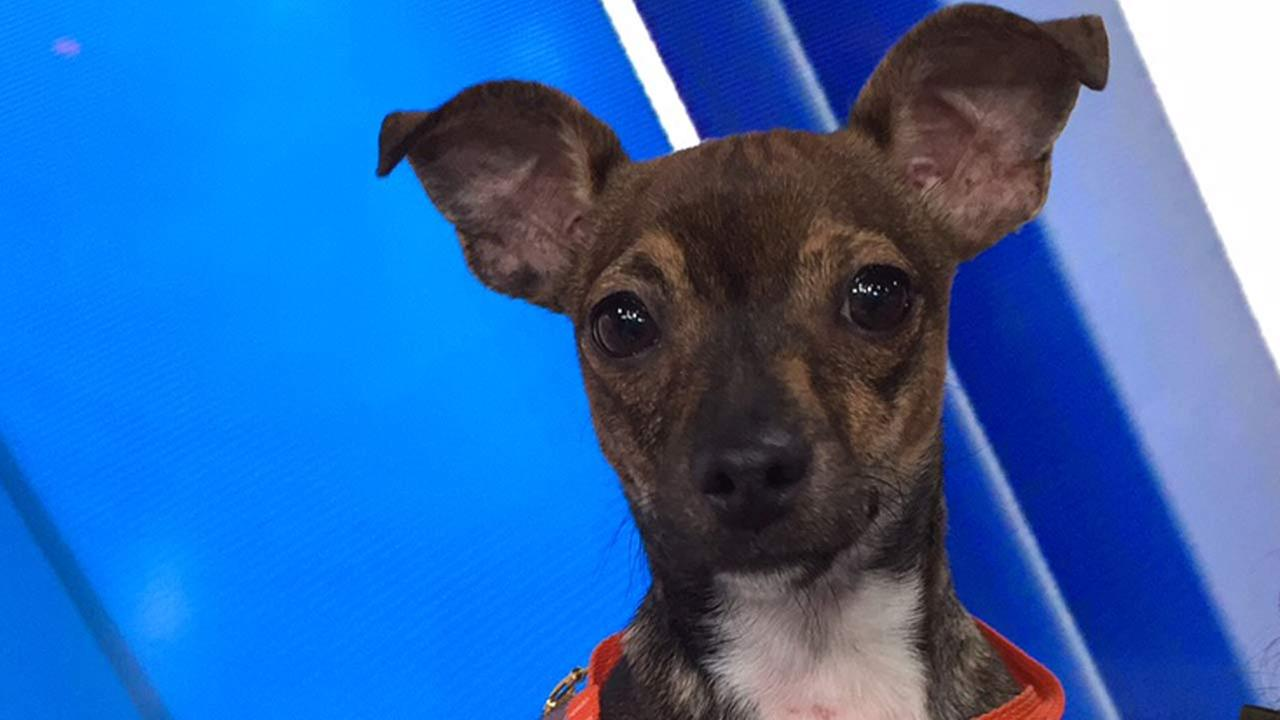 Our Pet of the Week on Tuesday, Nov. 24, is a 8-month-old male Chihuahua mix named Colby. Please give him a good home!