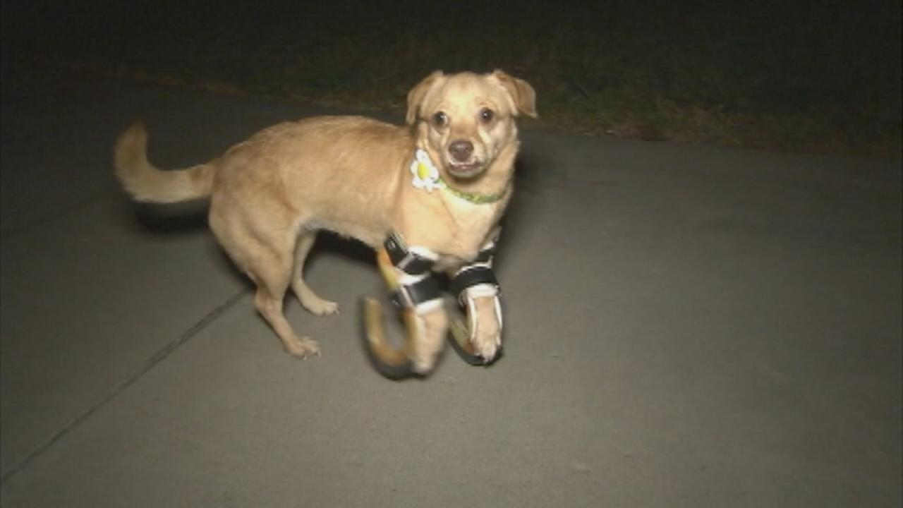 Daisy is learning to move around better with the help of prosthetic legs.