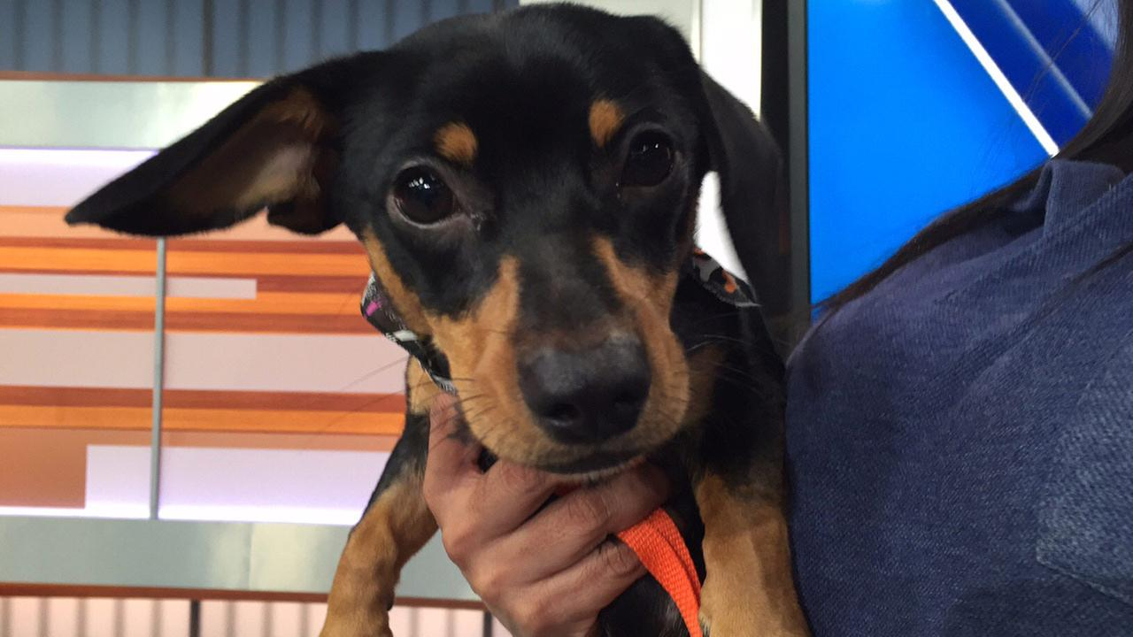 Our Pet of the Week on Tuesday, Dec. 1, is a 5-month-old male dachshund mix named Wesley. Please give him a good home!