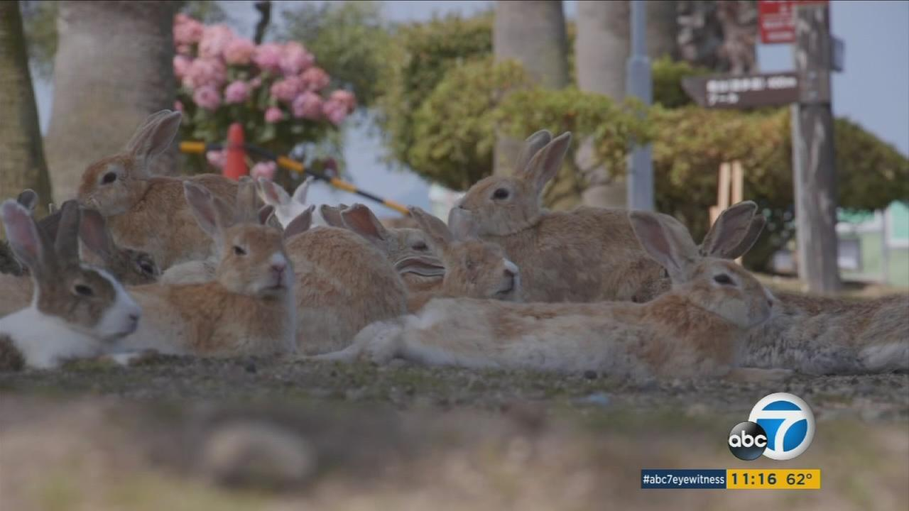 A Japanese island once used to make chemical weapons during World War II has become a paradise for rabbits.
