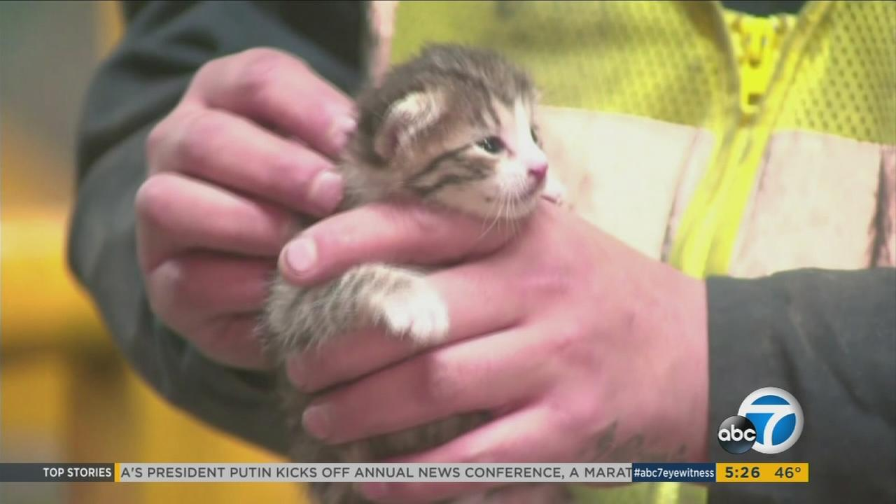 A kitten named Murphy rescued from a conveyor belt at a recycling plant in Sacramento.