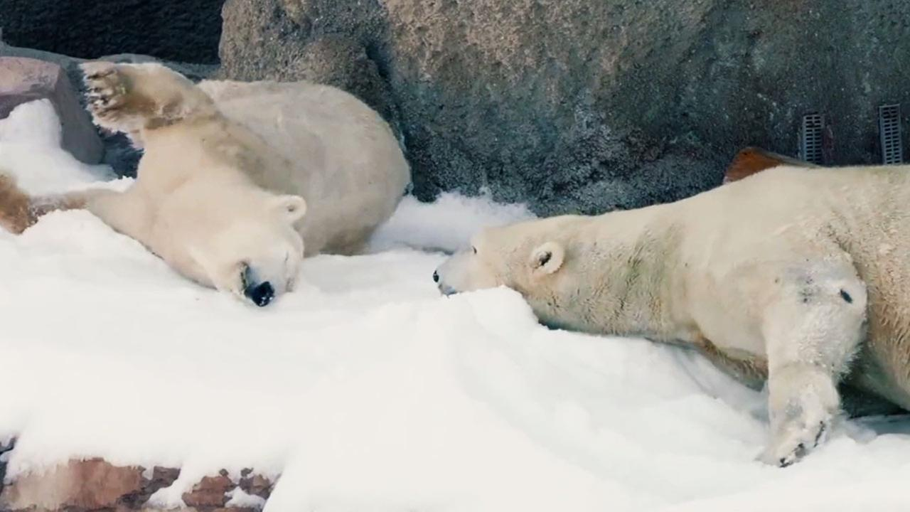 Polar bears at the San Diego Zoo got an early Christmas present this year! The bears gleefully frolicked in the snow provided by the zoo.