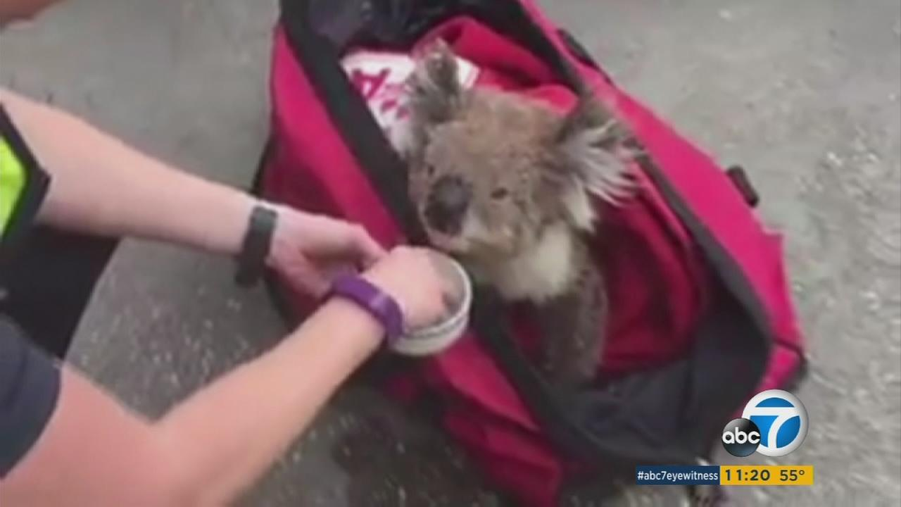 A koala is given water after it was rescued from a wildfire in Australia.