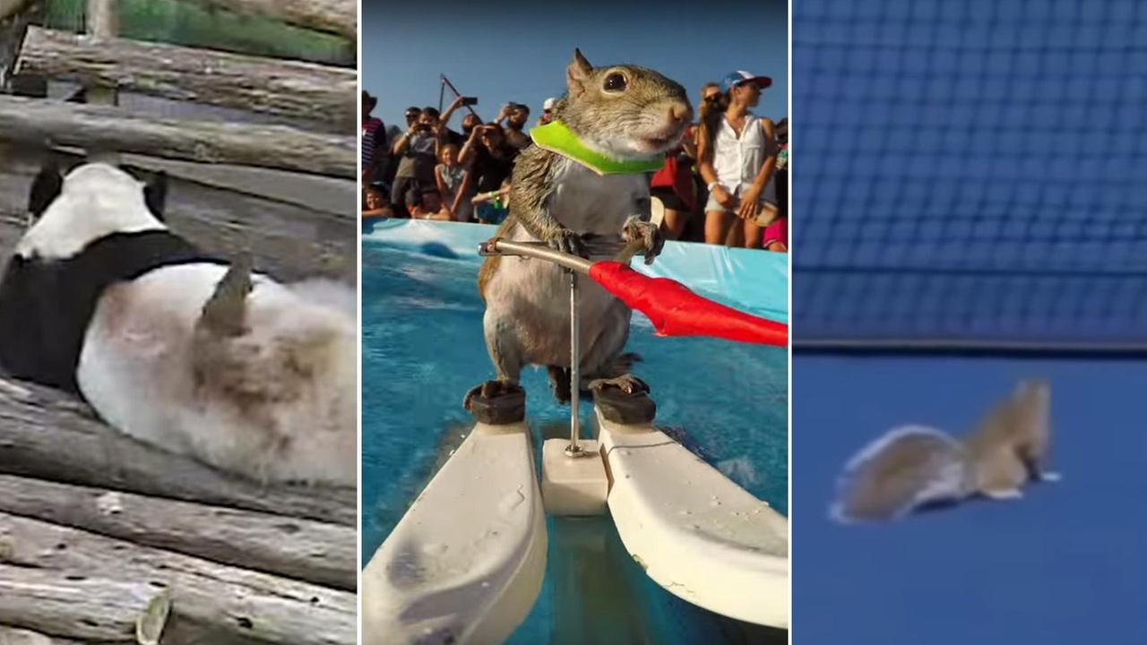 A squirrel at the Toronto Zoo wakes up a panda (L). Twiggy the water skiing squirrel has fun (C). A squirrel interrupts a tennis match (R).