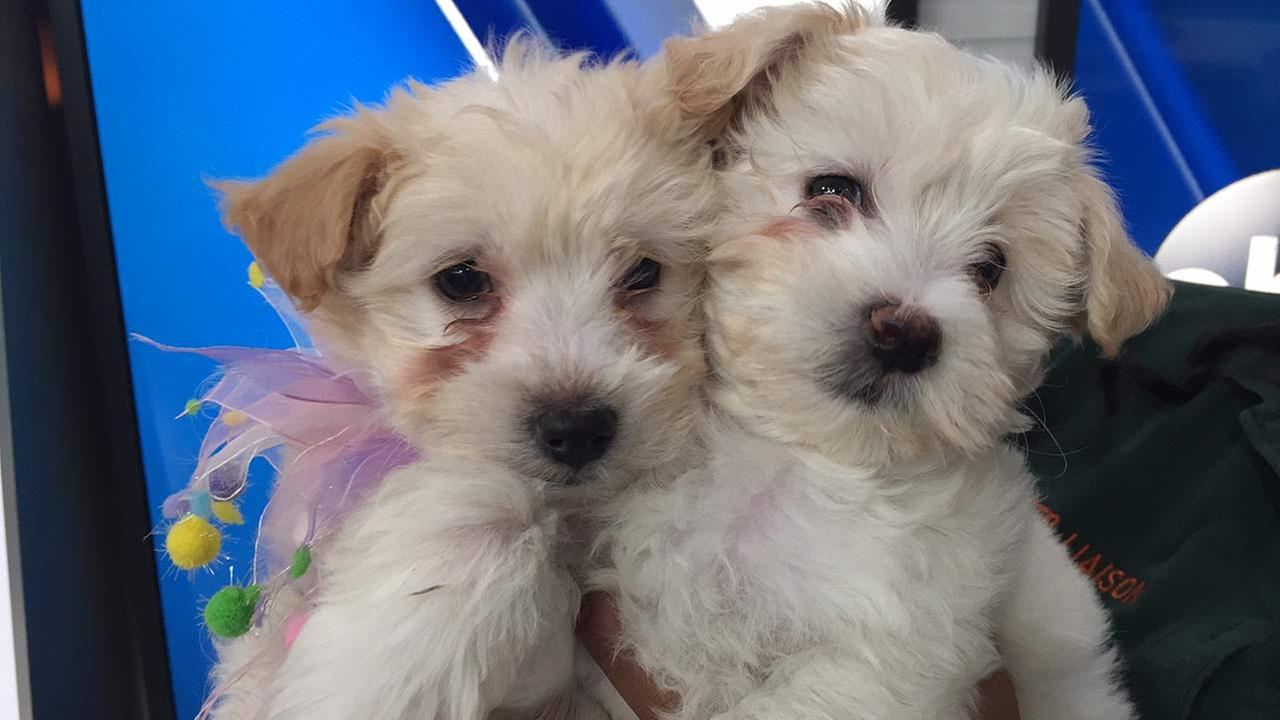 Our Pet of the Week on Tuesday, Jan. 26, featured two Cocker Spaniel and poodle mix puppies named Daisy and Petunia. Please give them a good home!