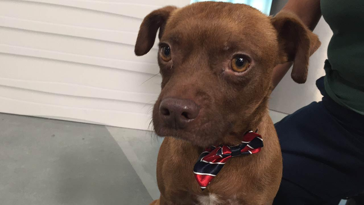 Our Pet of the Week on Tuesday, Feb. 2, is a 1-year-old male Chihuahua-pug mix named Chip. Please give him a good home!