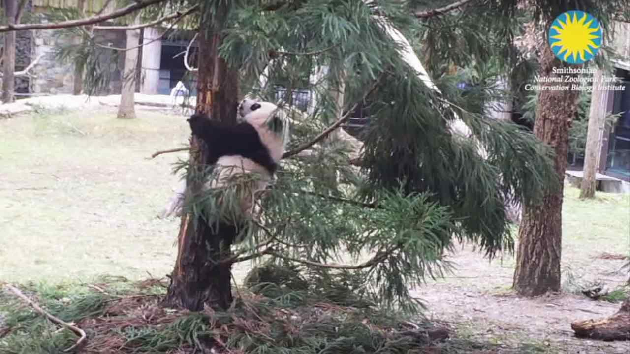 Bei Bei, the giant panda cub at the National Zoo in Washington, has taken his first trip outside.