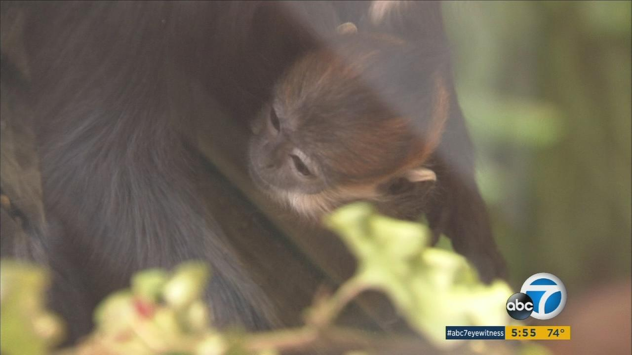 Just in time for the Year of the Monkey, a baby langur made his public debut at the Los Angeles Zoo.