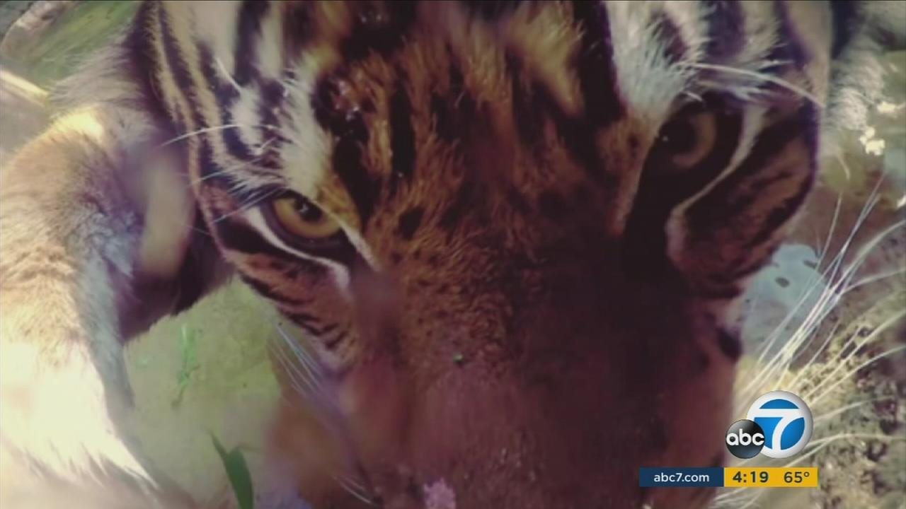 A tiger seen in a selfie photo after Google set up high-tech cameras in animal enclosures all over the L.A. Zoo.