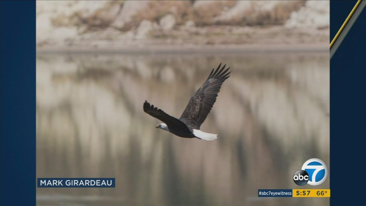 A bald eagle is shown flying over Irvine Lake in an undated photo taken by Mark Girardeau.