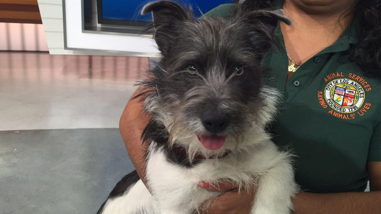 Our Pet of the Week on Tuesday, March 15, is a 2-year-old male terrier mix named Toby. Please give him a good home!