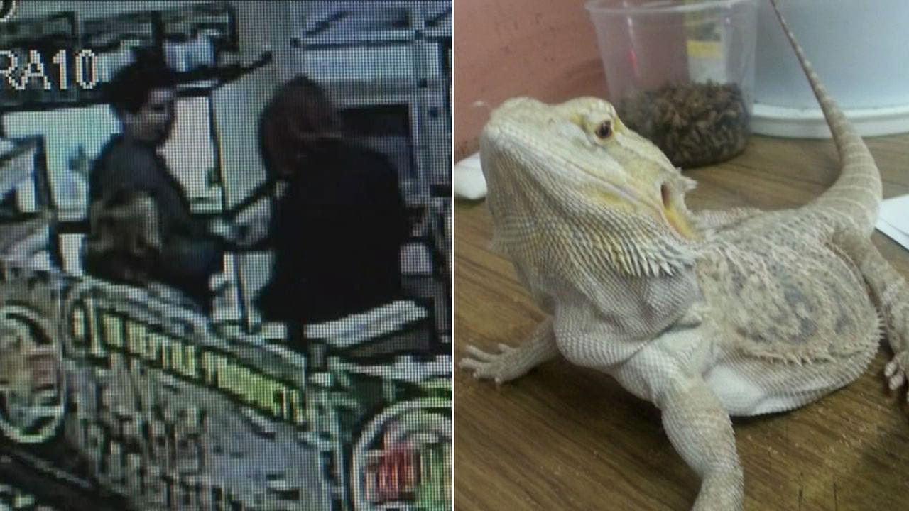 Sandy, a rare bearded dragon, was stolen by three suspects from Rainbow MealWorms Inc. in the 100 block of E. Spruce Street on Saturday, March 12, 2016.