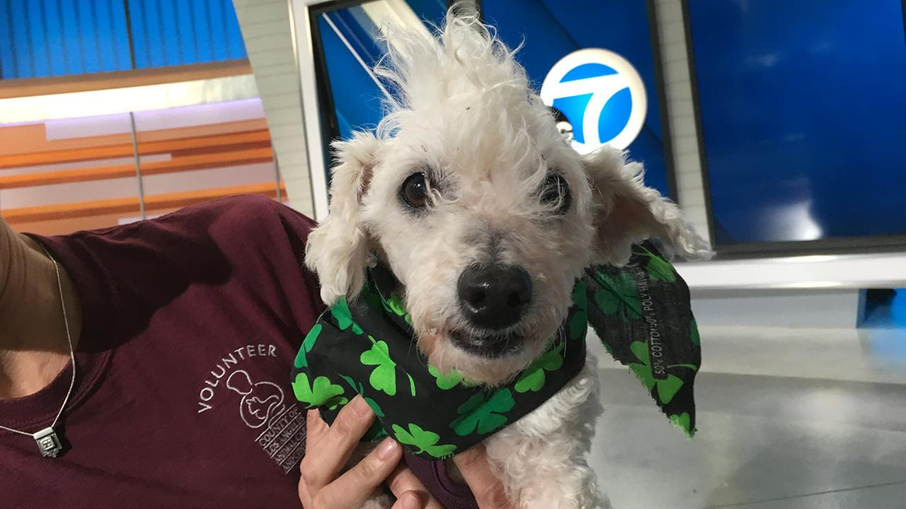 Our Pet of the Week on Thursday, March 17, is a 8-year-old female poodle mix named Bambi. Please give her a good home!