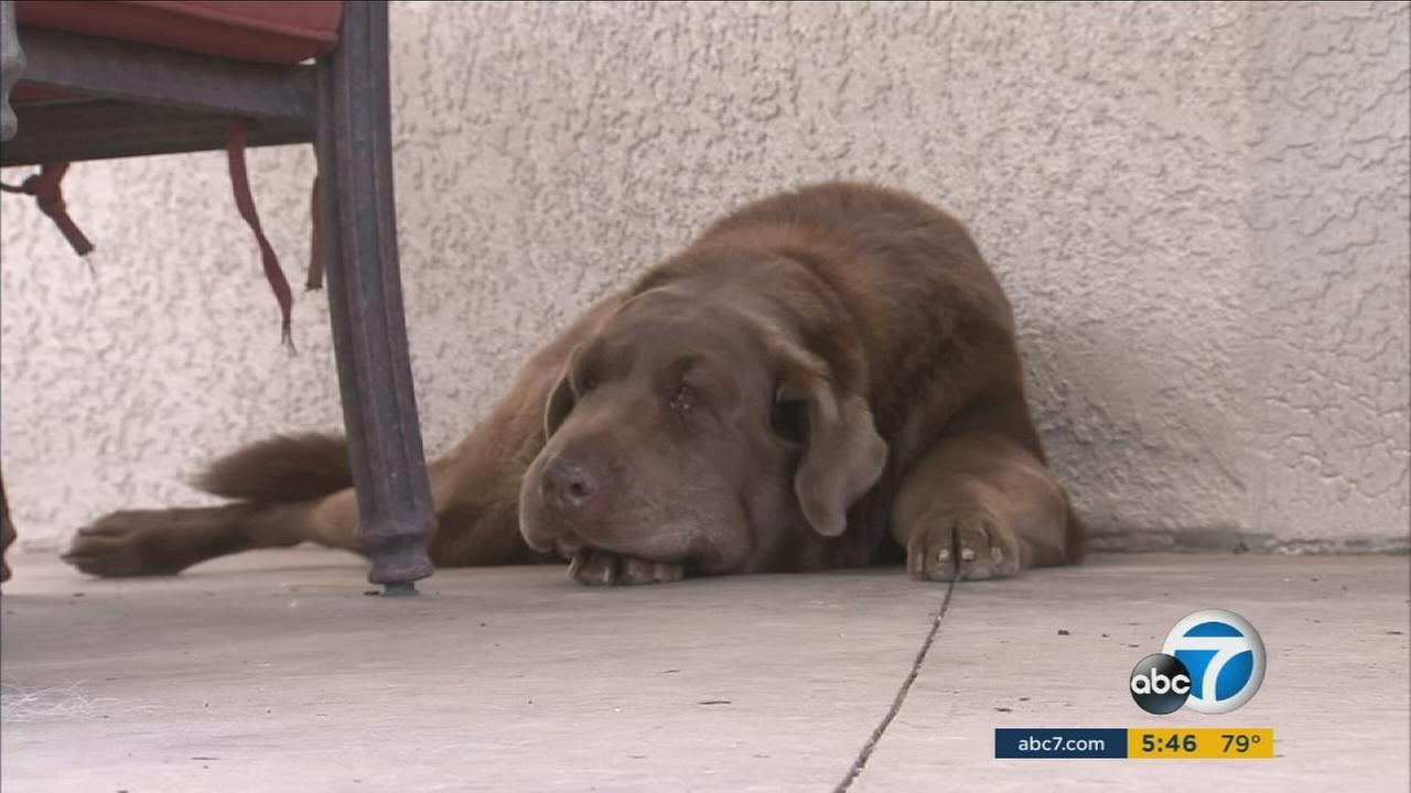 A La Verne familys beloved Labrador is safe after a nasty rattlesnake attack, thanks to help from local police.