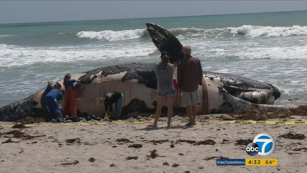 A dead whale washed ashore at San Onofre State Beach in Orange County.