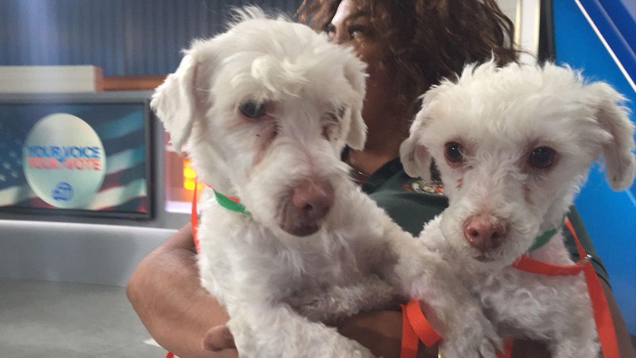 Our Pet of the Week on Tuesday, April 26, is a pair of 5-year-old poodle mix siblings named Precious and Petey. Please give them a good home!