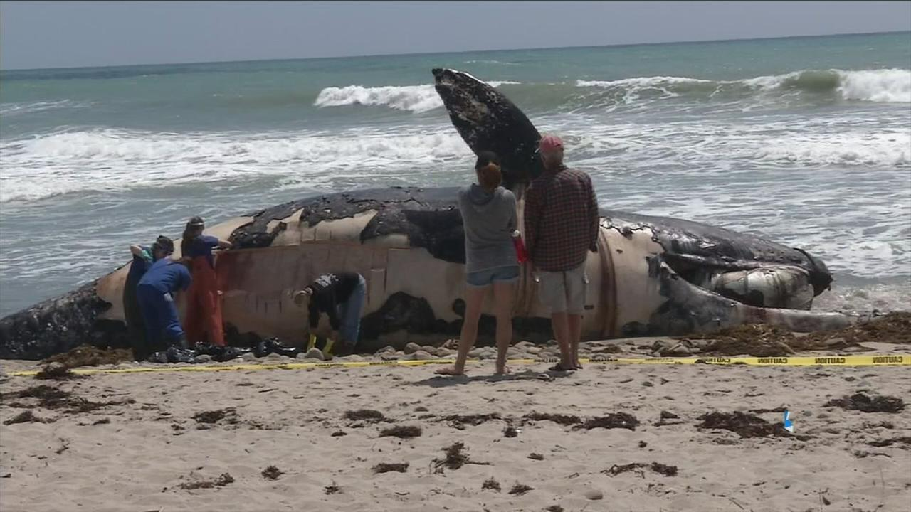 A large female dead whale is being inspected as it gets removed from the shore at San Onofre State Beach on Thursday, April 28, 2016.